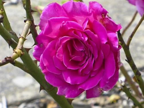 rose-83955_640.jpg
